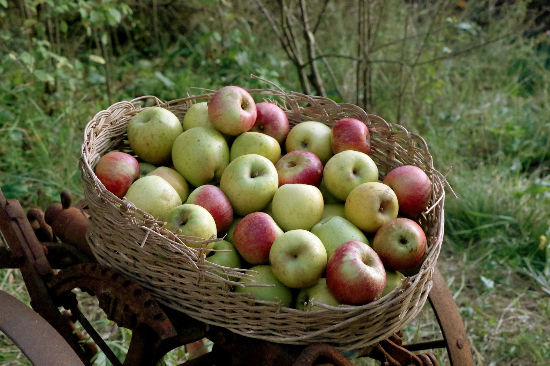 Cesto di mele su un vecchio aratro